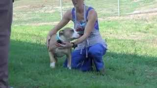 Butters - Female Pit Bull Terrier Mix