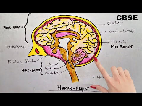 How To Draw And Label Human Brain Step By Step Full Tutorial Youtube