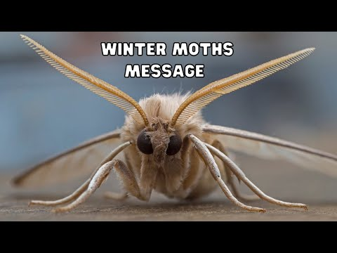 More Moths  ~ What message does the Moth have for me? Winter Moths
