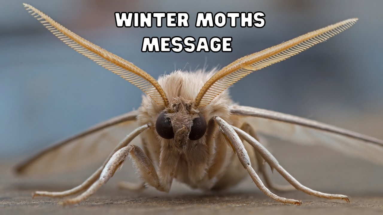 More Moths What Message Does The Moth Have For Me Winter Moths