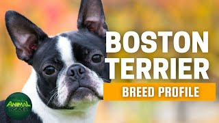 Boston Terrier Dogs 101 | The American Gentleman of the Canine World