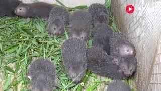 华农兄弟:夏天了,给竹鼠换换口味,砍些小嫩竹给它们啃 thumbnail
