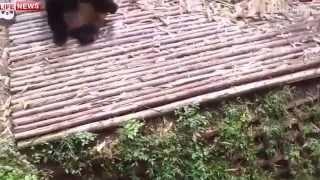 Смешное видео  Приколы с животными   Забавные игры панд