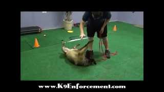 Family Protection Dog Storm - K9 Enforcement Training Academy