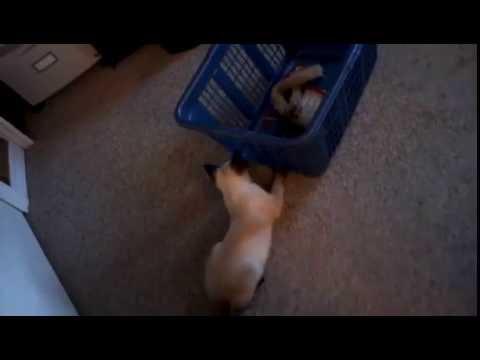 Adorable Siamese Kitten 2