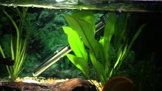 Psyches Community Planted Tank