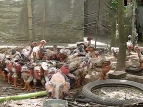 Gà Đông Tảo Khoái châu Hưng Yên - Giống gà đặc biệt trên thế giới có 1 không 2