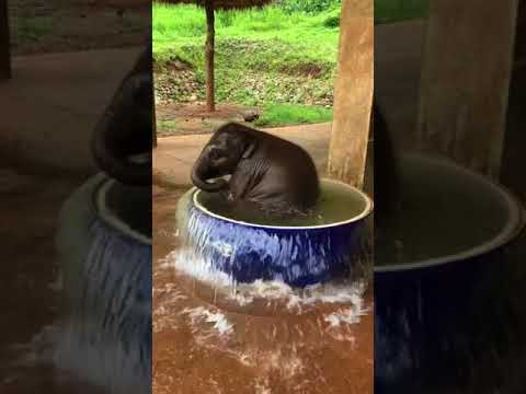 Baby Elephant Splashes Around in a Water Tub - 996612