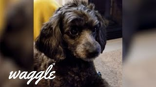 Perfect Poodles | Funny Dog Compilation