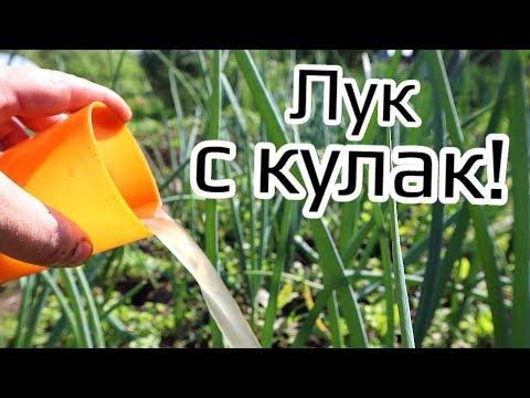 Нашла в советской газете этот рецепт подкормки лука! Огромные головки вырастают хранятся всю зиму