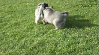 Norwegian Elkhound Puppies For Sale In Pa.