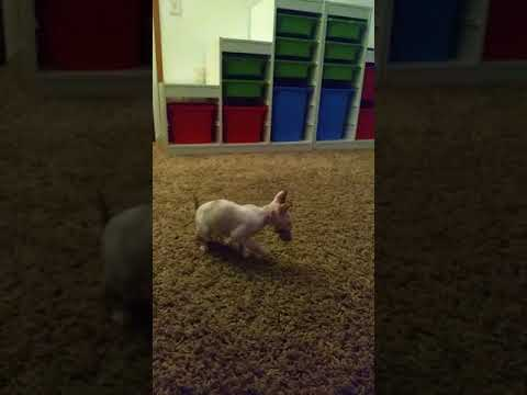Babys go go go! It´s all about Cornish Rex! Football players!