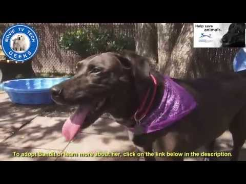 Bandit Labrador Mix Dog For Adoption: Rescue Me Animal League American & Movie TV Tech Geeks