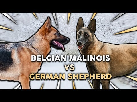GERMAN SHEPHERD vs BELGIAN MALINOIS! What's The Best Family Guard Dog