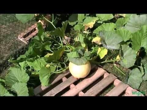 Simple Tip For Growing Bigger Pumpkins