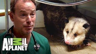 una-zarigeya-que-necesita-un-nuevo-hogar-dr-jeff-veterinario-animal-planet