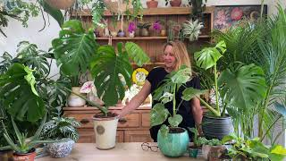 Monstera deliciosa or cheese plant houseplant care tips from Happy Houseplants