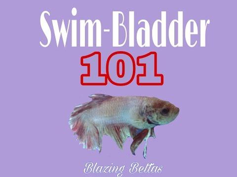 Swim bladder 101 betta fish blazing bettas youtube for Betta fish swim bladder