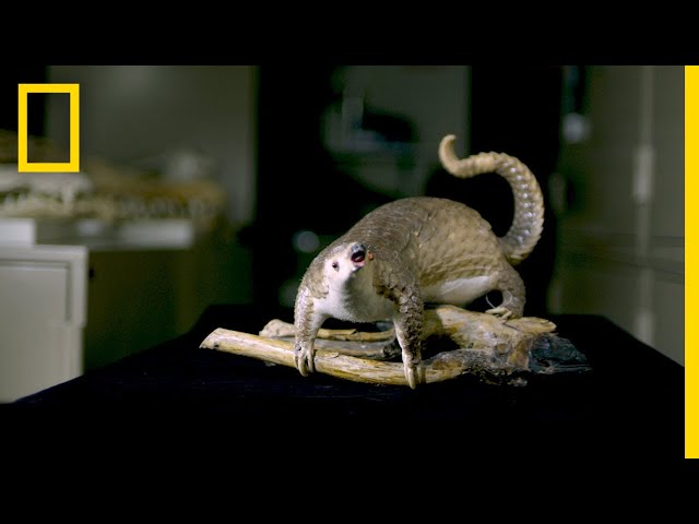 Opiates and Pangolin Scales is Rumor Debunked | National Geographic
