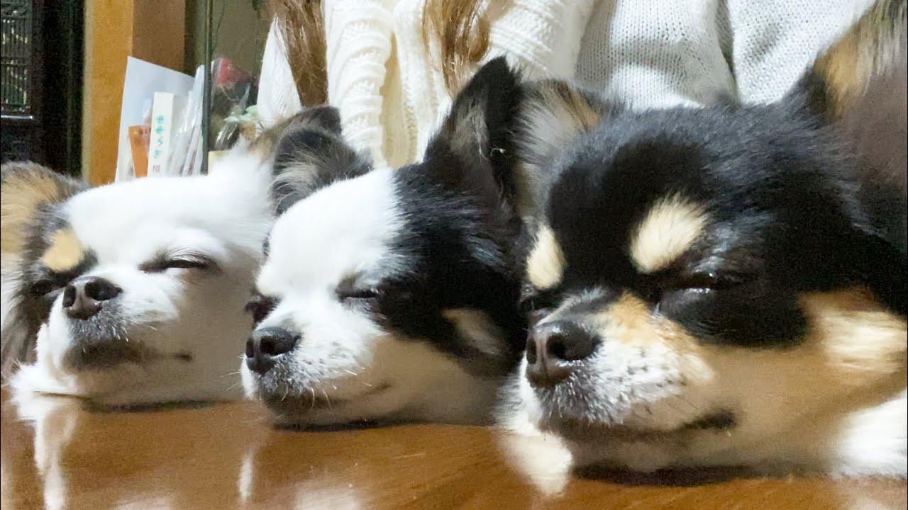 【癒し動画】チワワ犬が可愛すぎる動画♡また必ず会いにいくからね!【chihuahua】【ブラックタン】【多頭飼い】