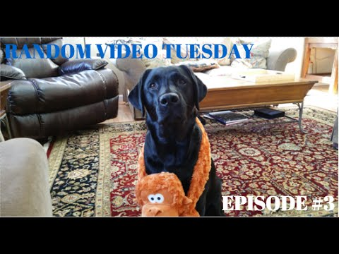 A Day In the Life of A Black Lab (RANDOM VIDEO TUESDAY #3)