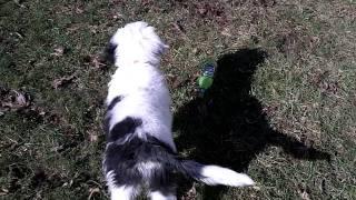 Ellie & Mowgli Sheepadoodle Puppies - 12 weeks old