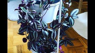 Tips For A Fuller Tradescantia zebrina | Wandering Jew Plant