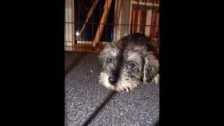 My Puppy  Pepper - Her First Week