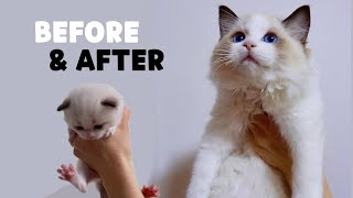 100 days of Ragdoll Kittens in 8 minutes [ENG SUB]