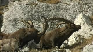 ALPSKI KOZOROG (Capra ibex) december Triglavski narodni park