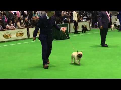 2018,3,31 Japan International Dog Show / French Bulldog Ch♂