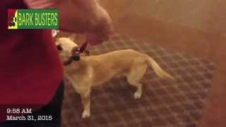 Lucky The Chiweenie - Dog Training Of Fort Myers - Patrick Logue