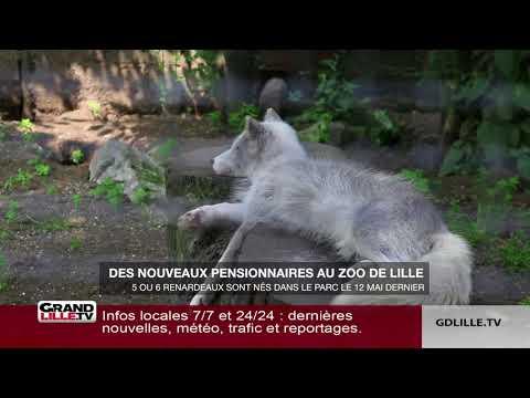 Découvrez les premières images des 6 renardeaux polaires du zoo de Lille
