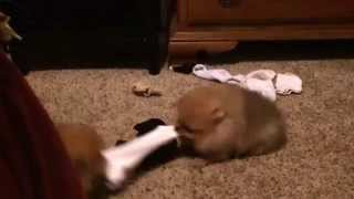 Sock Anyone? 11 Week Old Pomeranian Puppies Playing Tug Of War. #laundrysinglesocksolution #puppies