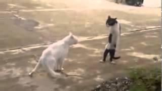 Gatos muy Graciosos Videos De Risa 2014