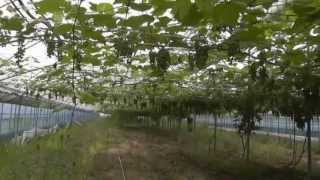놀러운 자연재배의 세계(1)_포도 농사