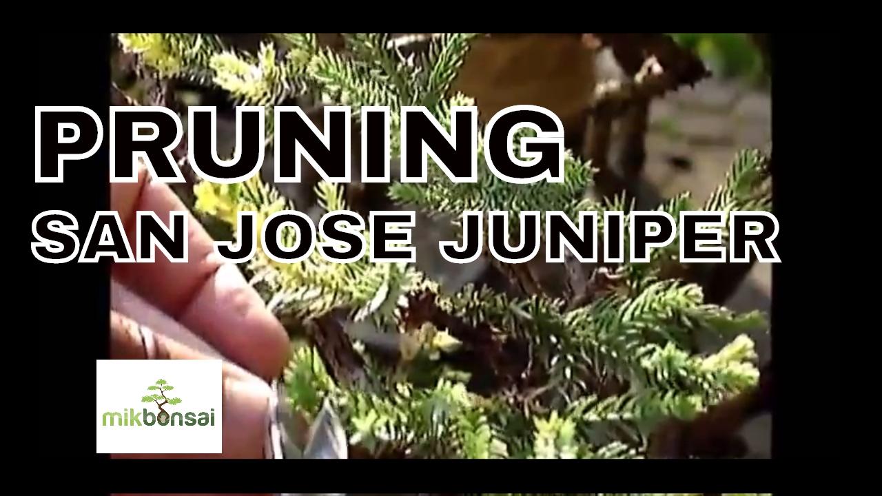 A Ninety Year Old Bonsai San Jose Juniper Tree Youtube
