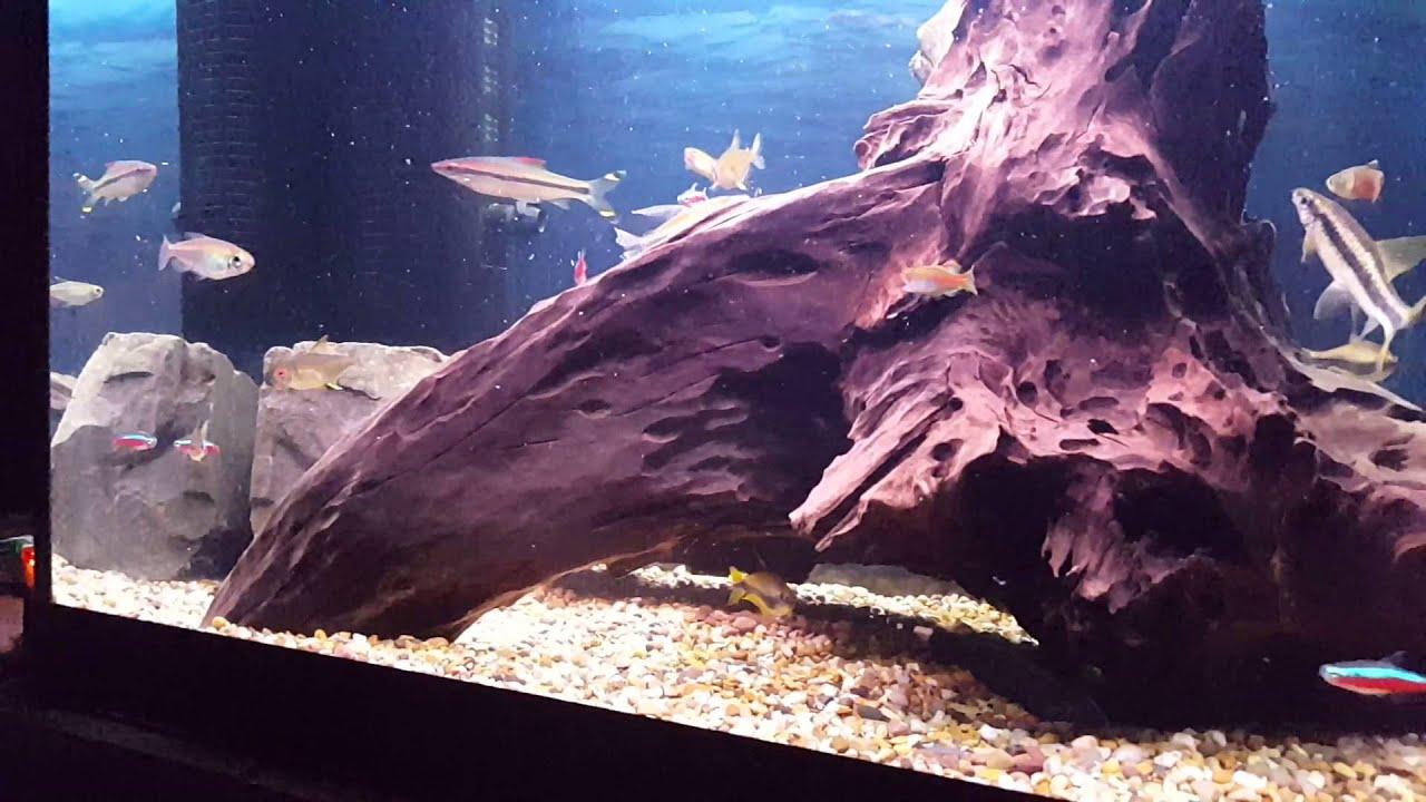 Freshwater aquarium knife fish - Black Ghost Knife Fish Feeding On Mysis Shrimp
