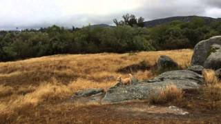 Tibby And Addy The Cairn Terriers Hunting In The Rain In Ramona, California