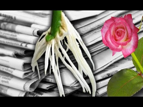 Rooting ROSE Cuttings the EASY WAY with Newspaper Growing Roses