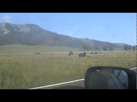 USA Road Trotters meet angry bison at Yellowstone