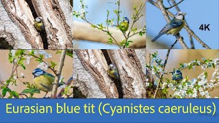 Eurasian blue tit   Cyanistes caeruleus    la mésange bleue #4k #tit #bluetit #oiseaux #wildlife The Eurasian blue tit prefers insects and spiders for its diet. It is usually 12 cm (4.7 in), long with a wingspan of 18 cm (7.1 in) for both sexes, and weighs about 11g (0.39 oz) #Cyanistescaeruleus #Eurasianbluetit # mésangebleue #tit #bluetit #birds #eurasianbluetit #cyanistescaeruleus #nature #birdsofinstagram #captures #bluetit #lovers  #brilliance #best #pimpelmees #animals #ornithology #birdphotography #blaumeise #birdwatching  #birdsofinsta  #pics #oiseaux #tuinvogels #photography #birdstagram #mesange #oiseauxdujardin #tit #sinitiainen #singletonpark #bbcspringwatch #animalportrait #nuts #closeup #bokeh #birdwatchingphotography  #wildlife #nature #wildlifephotography #birds #naturephotography #animals #photography #animal #naturelovers #travel #birdsofinstagram #canon #birdphotography #natgeo #birdwatching #perfection #conservation #captures #adventure #best #birding