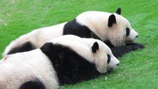 かわいい!双子のパンダ、並んで帰る時間を待って、扉が開いたら帰っていく♪ Very cute!! Two pandas are waiting together!! thumbnail