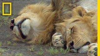 ライオンの寝言 ナショジオ