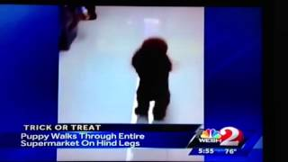 News Anchor Criticizes Walking Poodle.