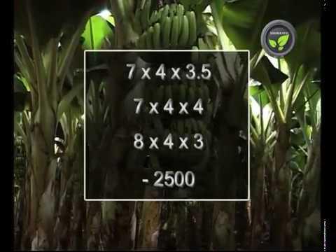 Land Preparation, Spacing and Layout of Banana Plantation