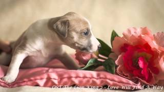 Whippet Love Will Find A Way