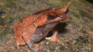 Horned Frog   Like humans, horned frogs can have eyes that are bigger than their stomachs.