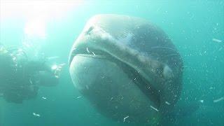 千葉県館山市沖の定置網に入った幻の巨大ザメと呼ばれる「メガマウス」...