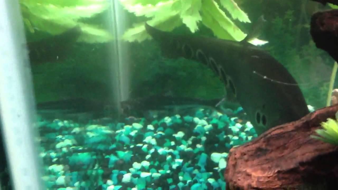 Freshwater aquarium knife fish - My Predator Freshwater Tank Arowana Gar Bichir And Knife Fish Youtube